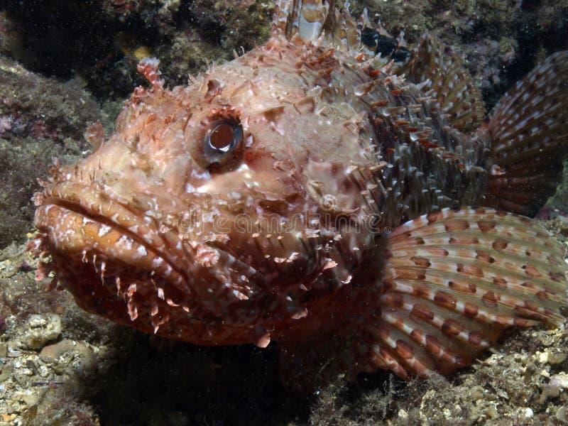 Skorpion-Fische Auf Dem Riff Stockfoto - Bild von stein
