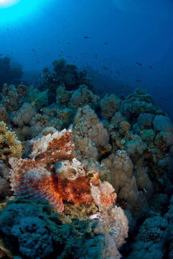 Skorpion-Fische stockbild. Bild von fische, skorpion - 4598989