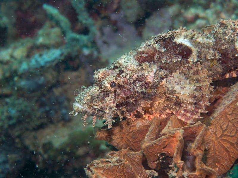 Skorpionfisk på under havet arkivbild