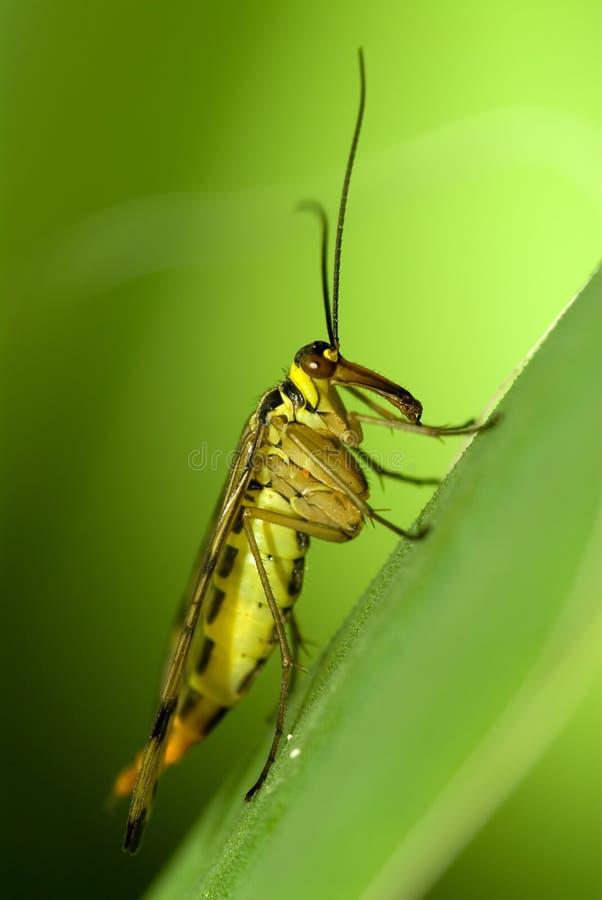 Skorpionfliege stockbilder