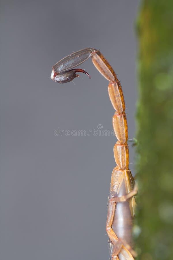 Skorpions-Endstück stockfotos