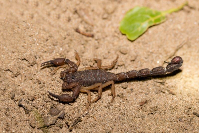 Skorpiony, drapieżczy pajęczaki Madagascar obrazy royalty free