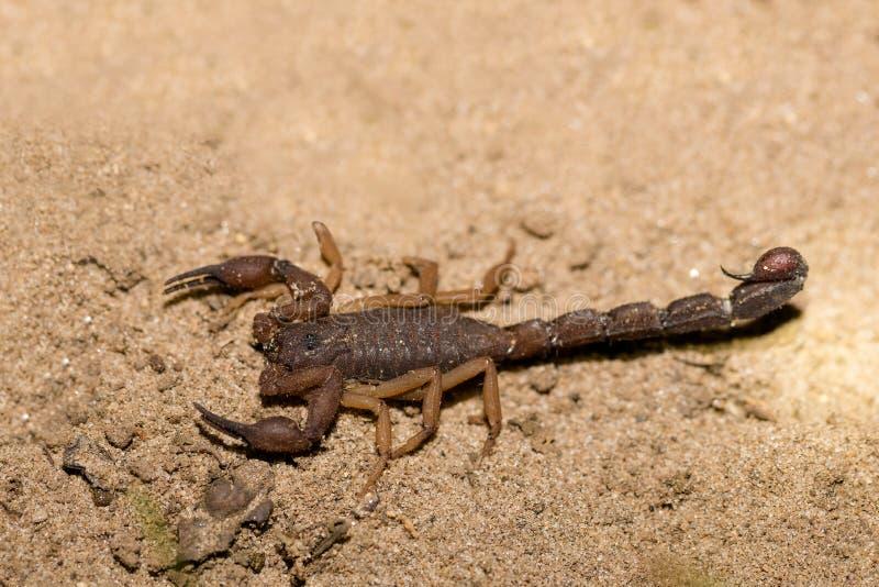 Skorpiony, drapieżne pajęczaki Madagaskar obraz royalty free