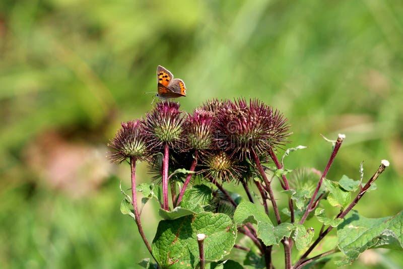 Skorra växter i enkel grupp med den färgrika fjärilen med orange vingar och svarta fläckar som omges med gröna sidor i lokal träd royaltyfri bild