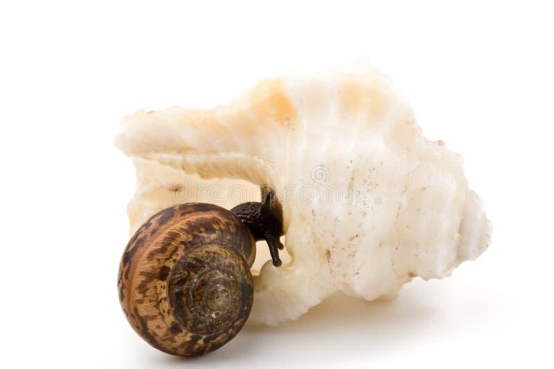 skorupa ogrodowy denny ślimaczek fotografia stock