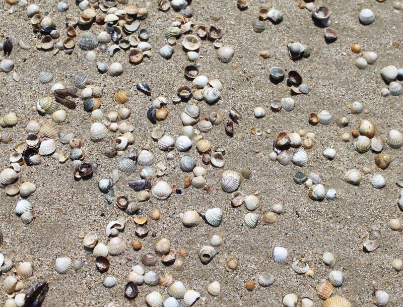 Skorupy na piaskowatych plażach, seashells tło zdjęcie stock