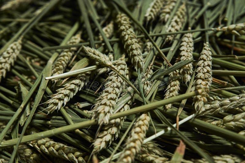 Skoszony kolec jęczmień Rolnictwo i Uprawia? ziemi? poj?cie zdjęcia stock