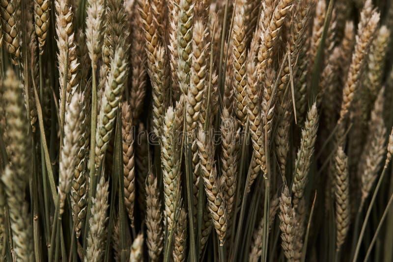 Skoszony kolec jęczmień Rolnictwo i Uprawia? ziemi? poj?cie fotografia stock