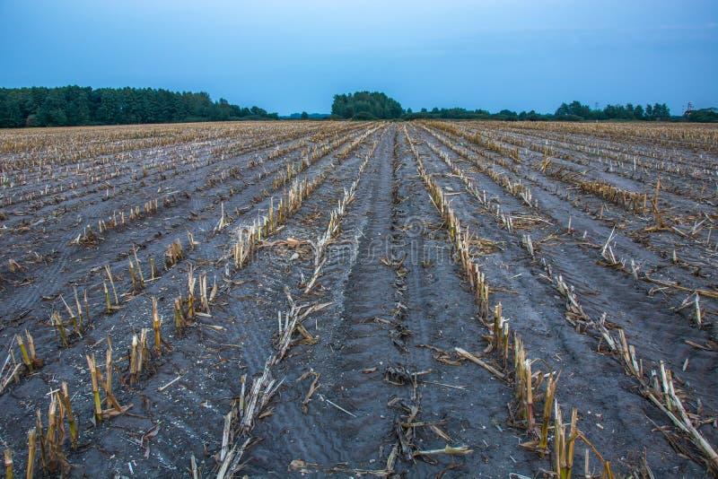 Skoszony kukurydzany pole, las na horyzoncie i niebieskie niebo, zdjęcie stock