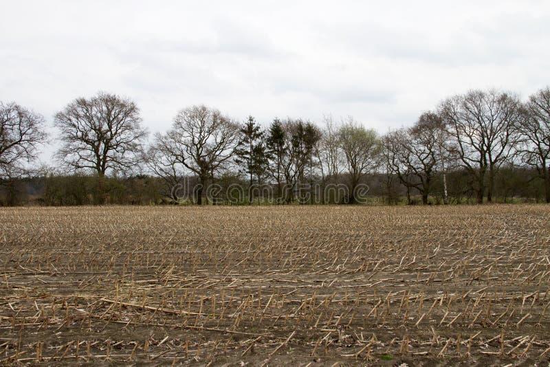 Skoszony kukurydzany pole z odpoczynkiem rośliny obrazy stock