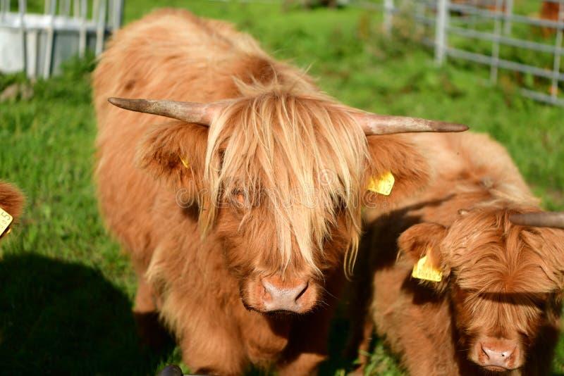 Skotsk högländareko med barn, långt hår royaltyfria bilder