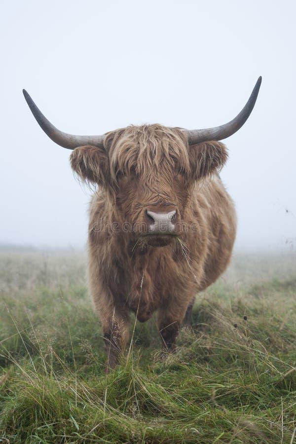Skotsk höglands- ko arkivfoton