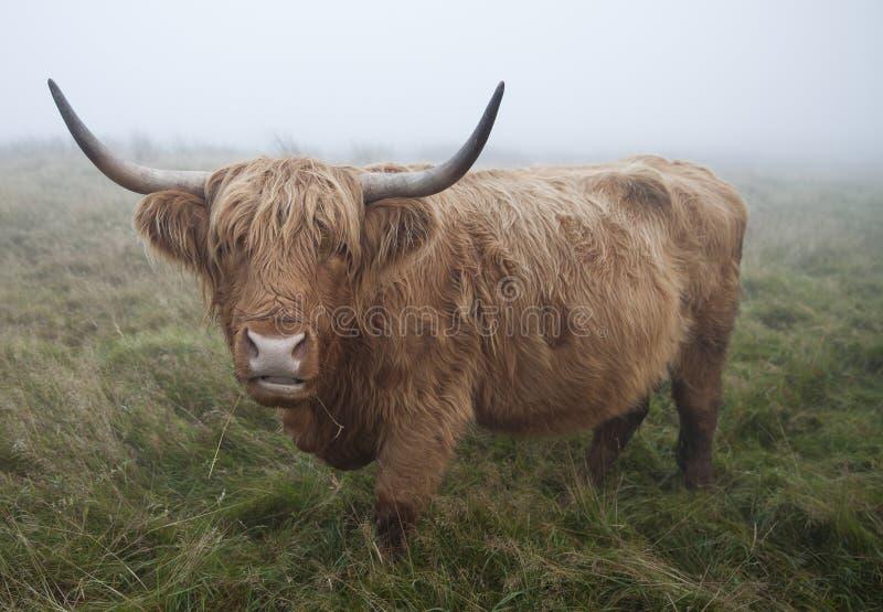 Skotsk höglands- ko royaltyfri bild