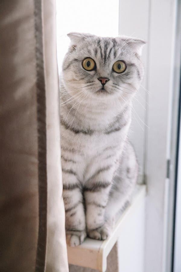 Skotsk katt på fönsterbrädan och blickarna upp Slokörad katt med grå färg arkivbilder