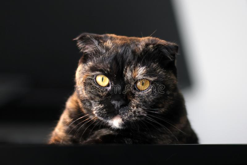 Skotsk kattsköldpaddafärg Stående av en katt på bakgrunden av en mörk inre royaltyfria bilder