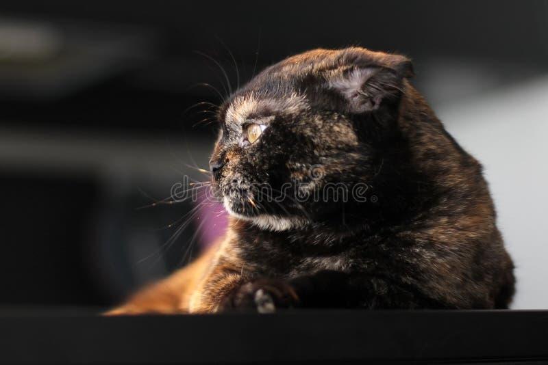 Skotsk kattsköldpaddafärg Stående av en katt på bakgrunden av en mörk inre arkivfoto
