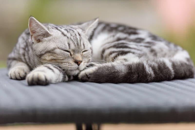 Skotsk rak katt för silver arkivbilder