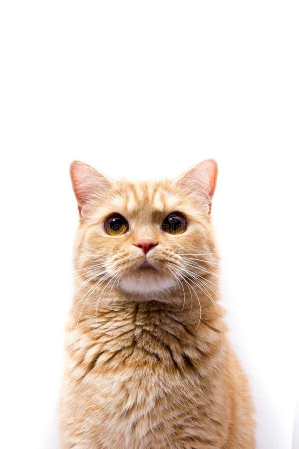 Skotsk raksträcka - en katt med ett mycket roligt uttryck tystar ned arkivbild