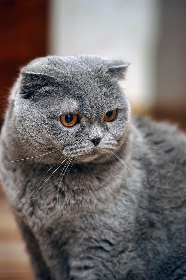 Download Skotsk slokörad katt arkivfoto. Bild av gulligt, hemhjälp - 27287614