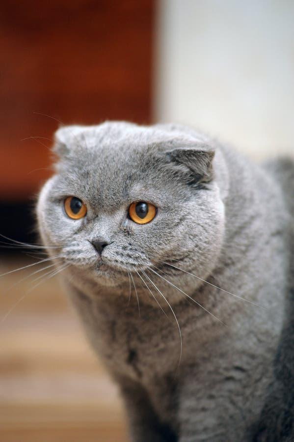 Download Skotsk slokörad katt fotografering för bildbyråer. Bild av uttryck - 27287697
