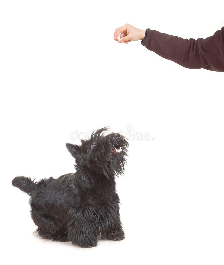 skotsk terrier fotografering för bildbyråer