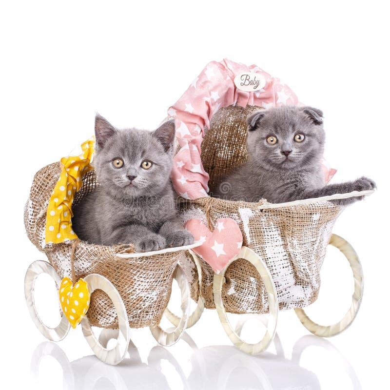 Skotska raka och skotska veckkattungar Katter med garneringar royaltyfria foton