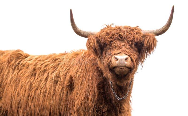 Skotskt höglands- nötkreatur royaltyfri fotografi