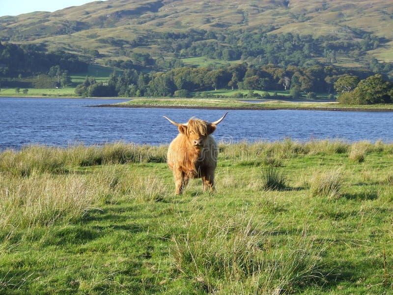 Skotskt höglands- nötkreatur arkivfoto