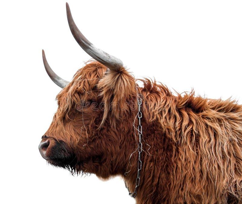 Skotskt höglands- nötkreatur på en vit bakgrund arkivfoton