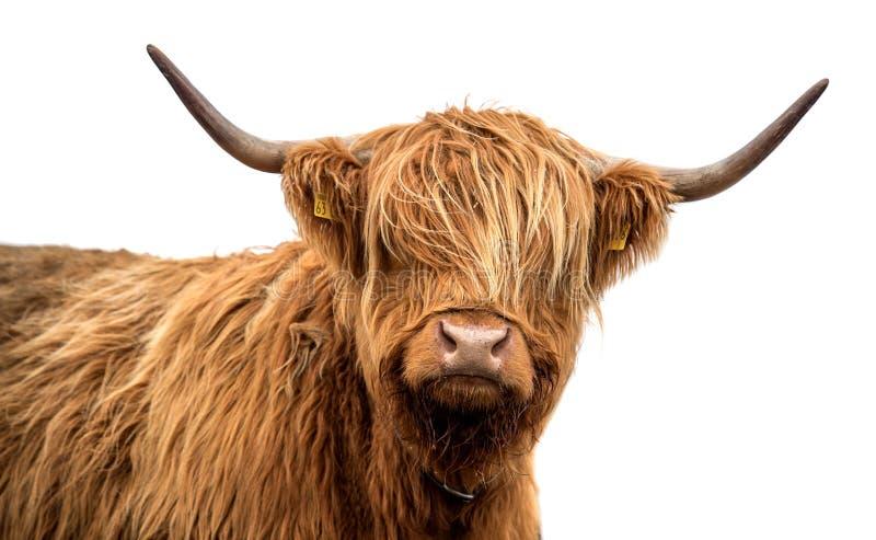 Skotskt höglands- nötkreatur på en vit bakgrund arkivfoto
