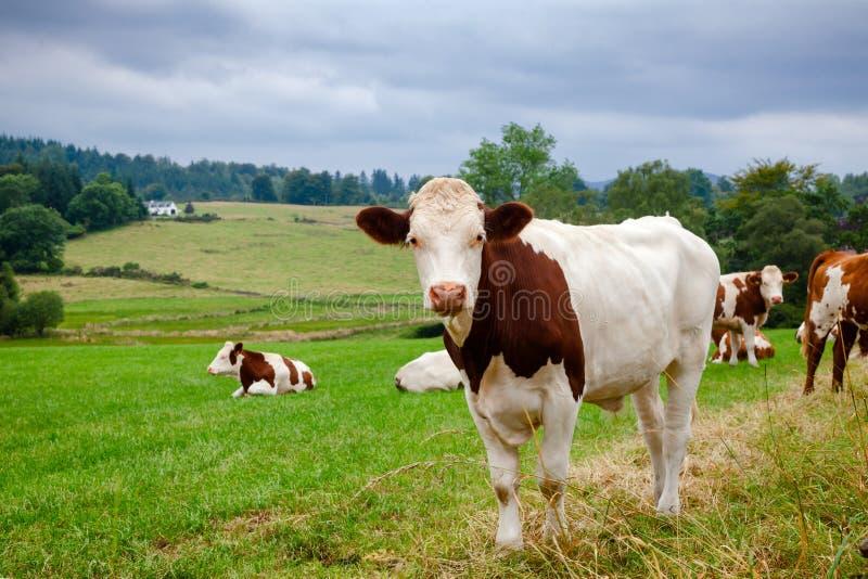 Skotskt lantligt landskap med att beta Holstein Friesiannötkreatur royaltyfria foton