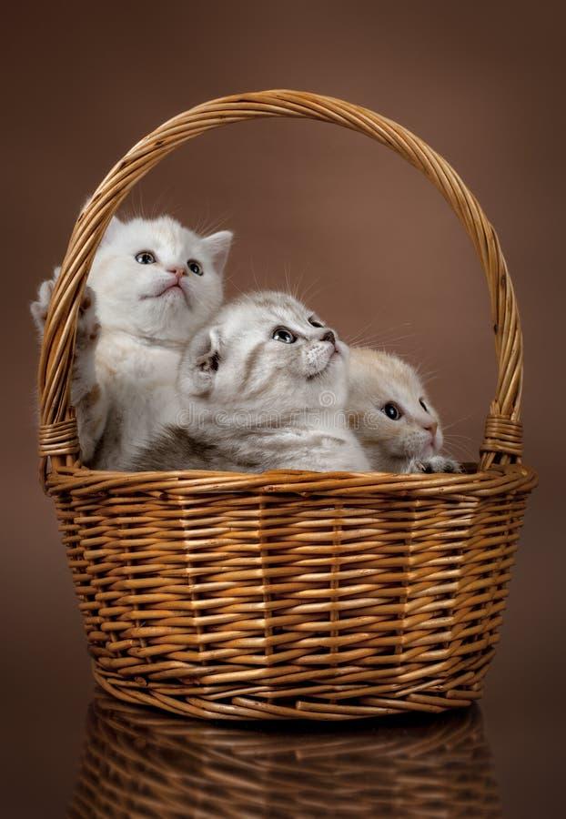 Skotskt veck för små kattungar royaltyfria bilder