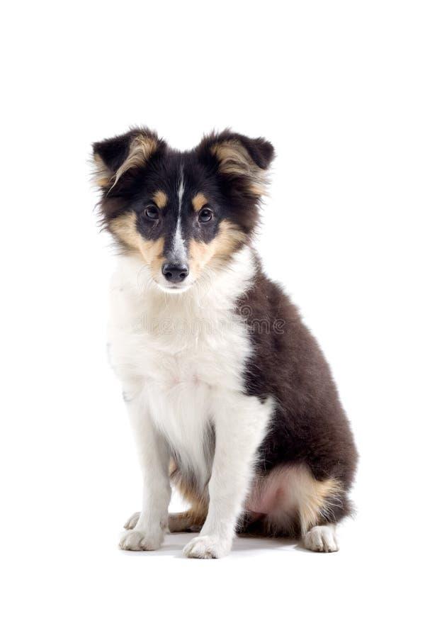 skott för colliehundvalp royaltyfria bilder