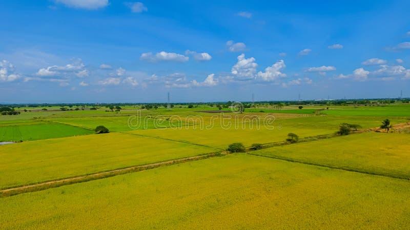 Skott för flyg- sikt från surret av de härliga risfältfälten med gröna unga groddar, i att bruka den organiska skörden med ris arkivfoton