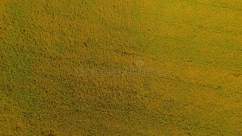 Skott för flyg- sikt från surret av de härliga risfältfälten med gröna unga groddar, i att bruka den organiska skörden med ris royaltyfria bilder