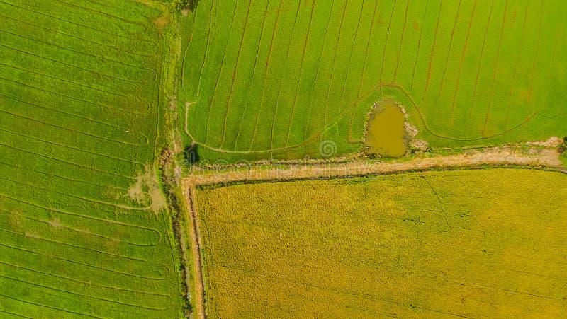 Skott för flyg- sikt från surret av de härliga risfältfälten med gröna unga groddar, i att bruka den organiska skörden med ris arkivbild