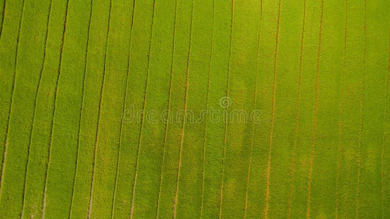 Skott för flyg- sikt från surret av de härliga risfältfälten med gröna unga groddar, i att bruka den organiska skörden med ris royaltyfri fotografi