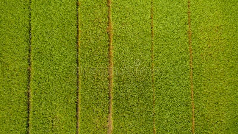 Skott för flyg- sikt från surret av de härliga risfältfälten med gröna unga groddar, i att bruka den organiska skörden med ris fotografering för bildbyråer