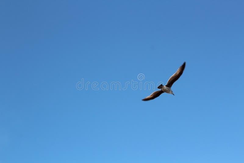 Skott för låg vinkel av ett hökflyg med blå himmel i bakgrunden royaltyfri bild