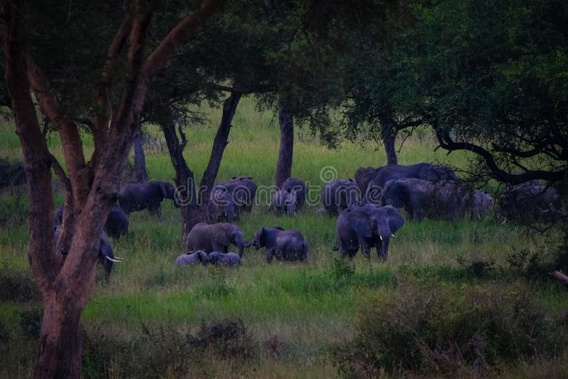 Skott för långt område av elefanter som går i ett gräs- fält nära träd royaltyfria foton