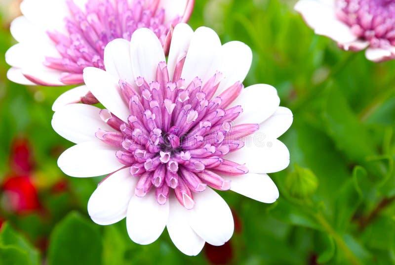 Skott för makro för fält Osteospermum rosa för vit blomma arkivfoto