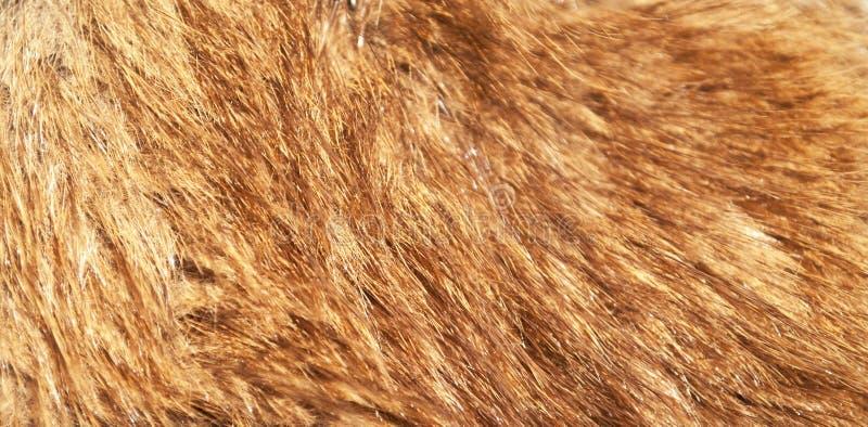 Skott för makro för päls för röd räv royaltyfri fotografi
