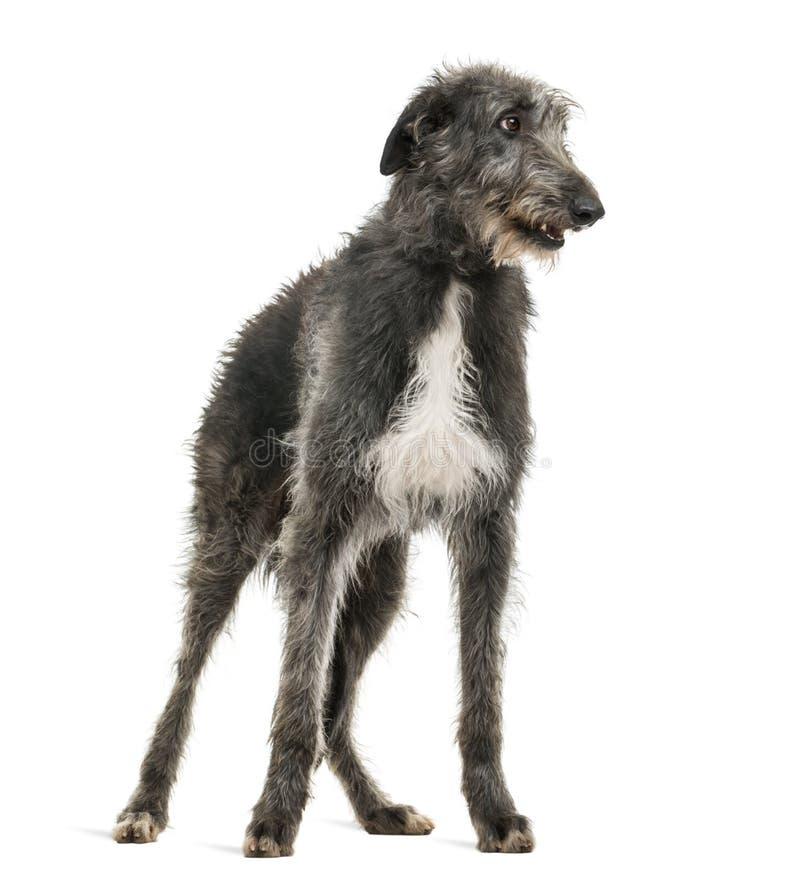 Skotte Deerhound som ser höger fotografering för bildbyråer