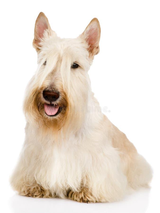 Skotte främsta Terrier bakgrund isolerad white royaltyfria foton