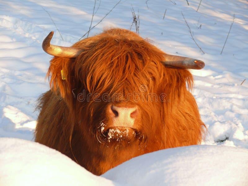 Skotte Gaelic Highland royaltyfria foton