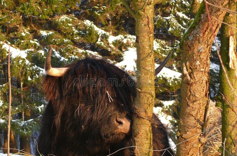 Skotte Gaelic Highland fotografering för bildbyråer