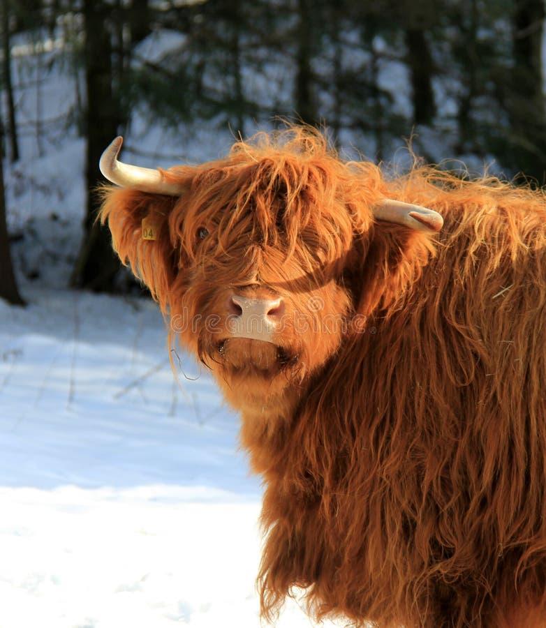 Skotte Gaelic Highland royaltyfri foto