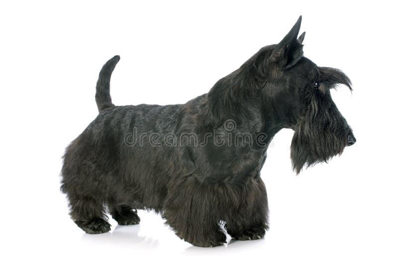 Skotte Terrier arkivbilder