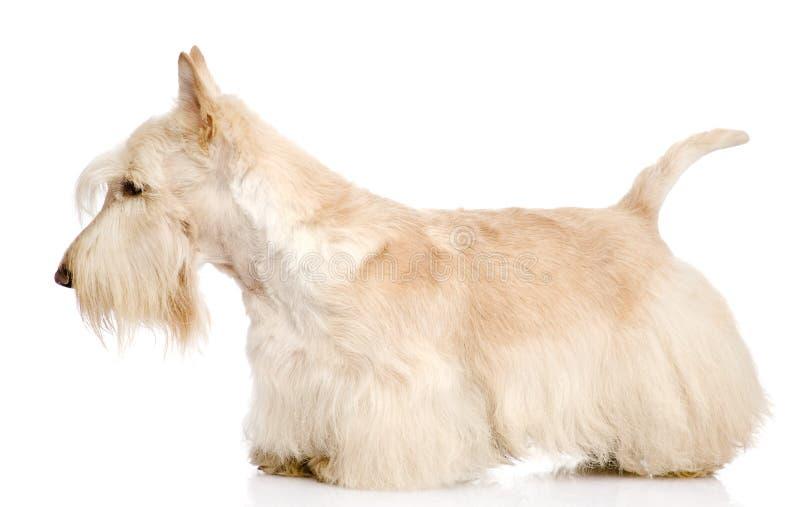 Skotte Terrier på vit bakgrund royaltyfri fotografi