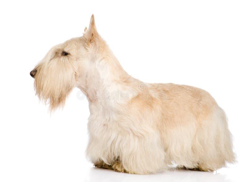 Skotte Terrier som isoleras på vit royaltyfri foto